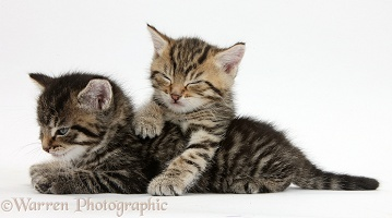 Two cute sleepy tabby kittens