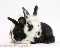 Young black-and-white rabbits