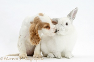 Orange roan Cocker Spaniel pup and white rabbit kissing