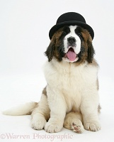 Saint Bernard puppy wearing a bowler hat