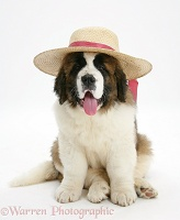 Saint Bernard puppy wearing a ladies straw hat