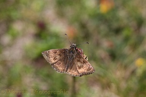 Dingy Skipper Butterfly, French Pyrenees