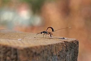 Ichneumon egg-laying in a wooden fence post