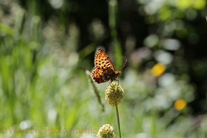 Pearl-bordered Fritillary resting on Salad Burnet