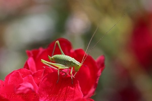 Speckled Bush Cricket nymph on a red rose