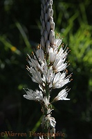 White Asphodel, French Pyrenees