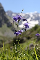 Wild columbine, French Pyrenees