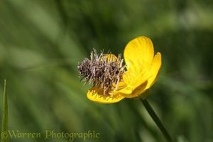 Bag moth caterpillar on buttercup flower