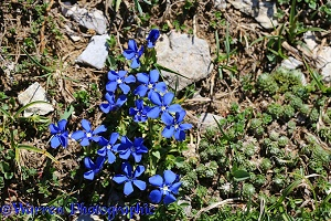Spring Gentian, French Pyrenees