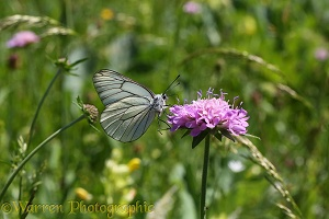 Black-veined White Butterfly on Field Scabious