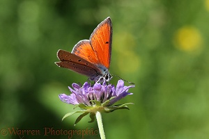 Purple-edged Copper Butterfly on Field Scabious
