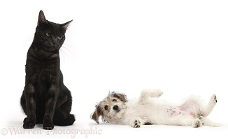 Black cat looking askance at submissive puppy