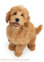 Cute Goldendoodle puppy sitting and looking up