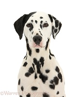 Dalmatian dog with one black ear