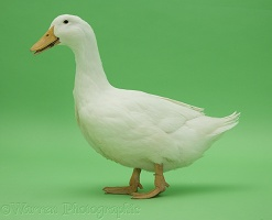 White duck on green background