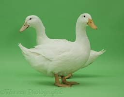Two white ducks on green background