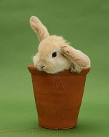 Cute Sandy Lop bunny rabbit in a flowerpot