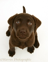 Chocolate Labrador Retriever pup, sitting and looking up