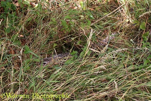 Common Pheasant on nest incubating eggs