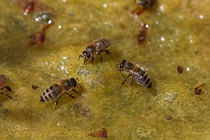 Honey Bee workers drinking from algae-covered pond