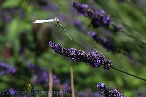 Small White Butterfly taking off form lavender