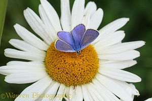 Common Blue Butterfly on Marguerite Daisy