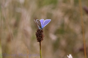 Common Blue Butterfly on plantain head