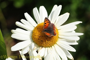 Small Copper Butterfly on Marguerite Daisy