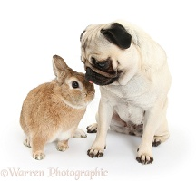 Fawn pug and rabbit