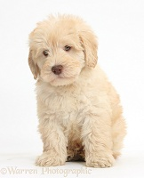 Cute Toy Goldendoodle puppy, sitting