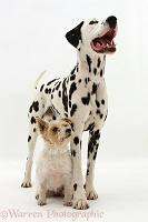 Dalmatian dog and terrier bitch