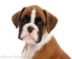 Boxer puppy, 7 weeks old