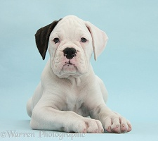 Black eared white Boxer puppy on blue background