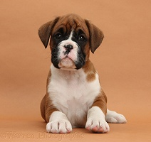 Boxer puppy, 7 weeks old, on brown background