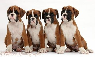 Four Boxer puppies, 8 weeks old, sitting