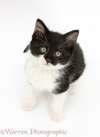 Black-and-white kitten sitting and looking up