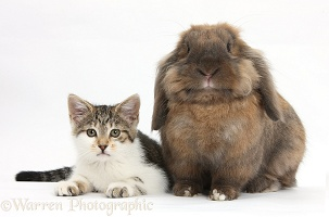 Tabby-and-white kitten with rabbit