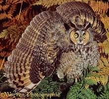 Long-eared Owl in aggressive display