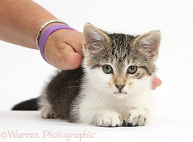 Tabby-and-white kitten enjoying being stroked