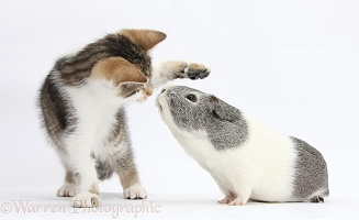 Guinea pig about to kiss Tabby-and-white kitten