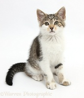 Tabby-and-white kitten sitting