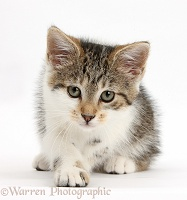 Tabby-and-white kitten lying with head up