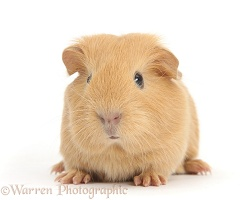 Cute baby yellow Guinea pig
