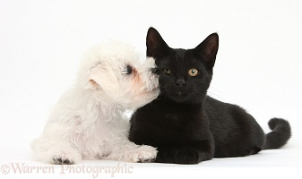 Cute white Bichon x Yorkie puppy kissing black cat