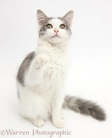 Grey-and-white cat pointing