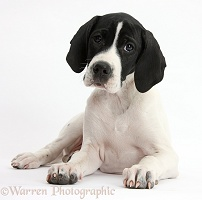 English Pointer puppy