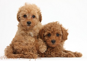 Two cute red Toy Poodle puppies