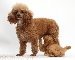 Red Toy Poodle puppy suckling its mother
