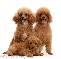 Red Toy Poodle mother and father and puppy