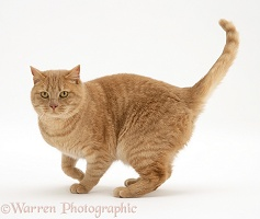 Ginger cat standing